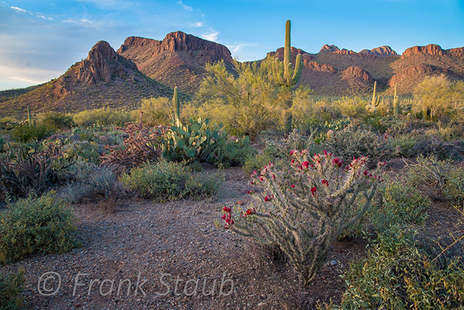 Photo of the Sonoran desert in bloom with native vegetation