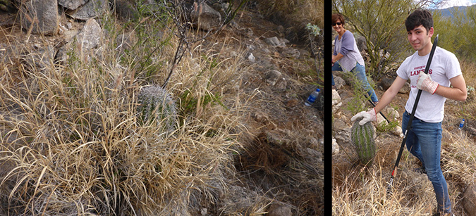 Before and after clearing buffelgrass from a young saguaro