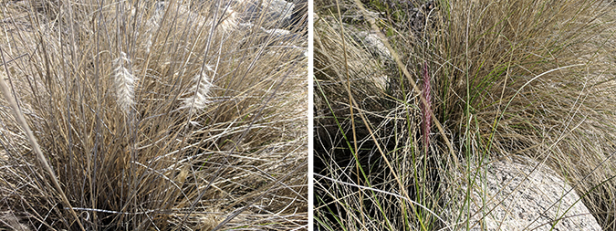 Close ups of fountain Grass heads