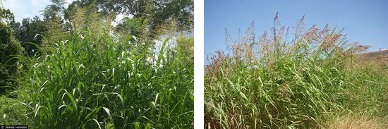 Two images showing clumps of Johnson Grass