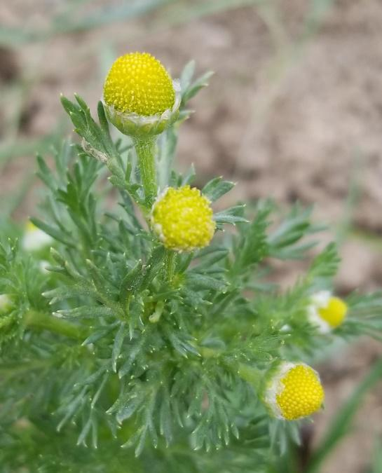 Pineappleweed close up